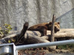 Napping bear, Bern, Switzerland