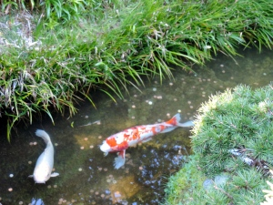 Koi Fish at Japanese Botanical Garden, Golden Gate Park