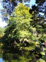 Gingko Biloba Tree in the Japanese Botanical Garden, Golden Gate Park