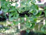 Gingko Biloba leaf in the Japanese Botanical Garden, Golden Gate Park