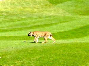 A lazy bobcat strolling across the 16th fairway.