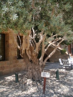 1,500 year old Olive Tree at the Moevenpick Dead Sea Resort