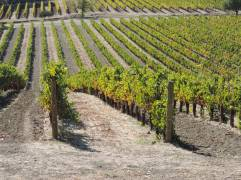 The rows of grape vines in Napa Valley, producing some of the best wines in the world
