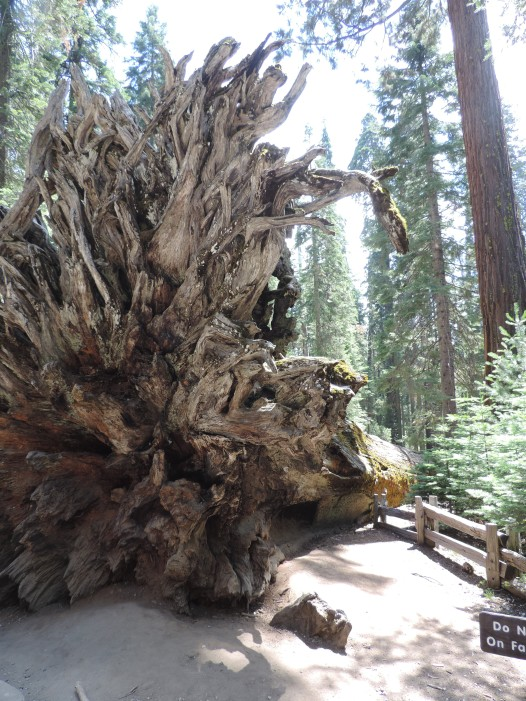 The exposed root system of a Gian Sequoia